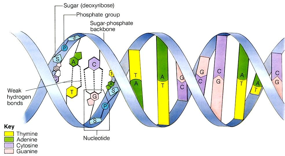 Human Dna Structure