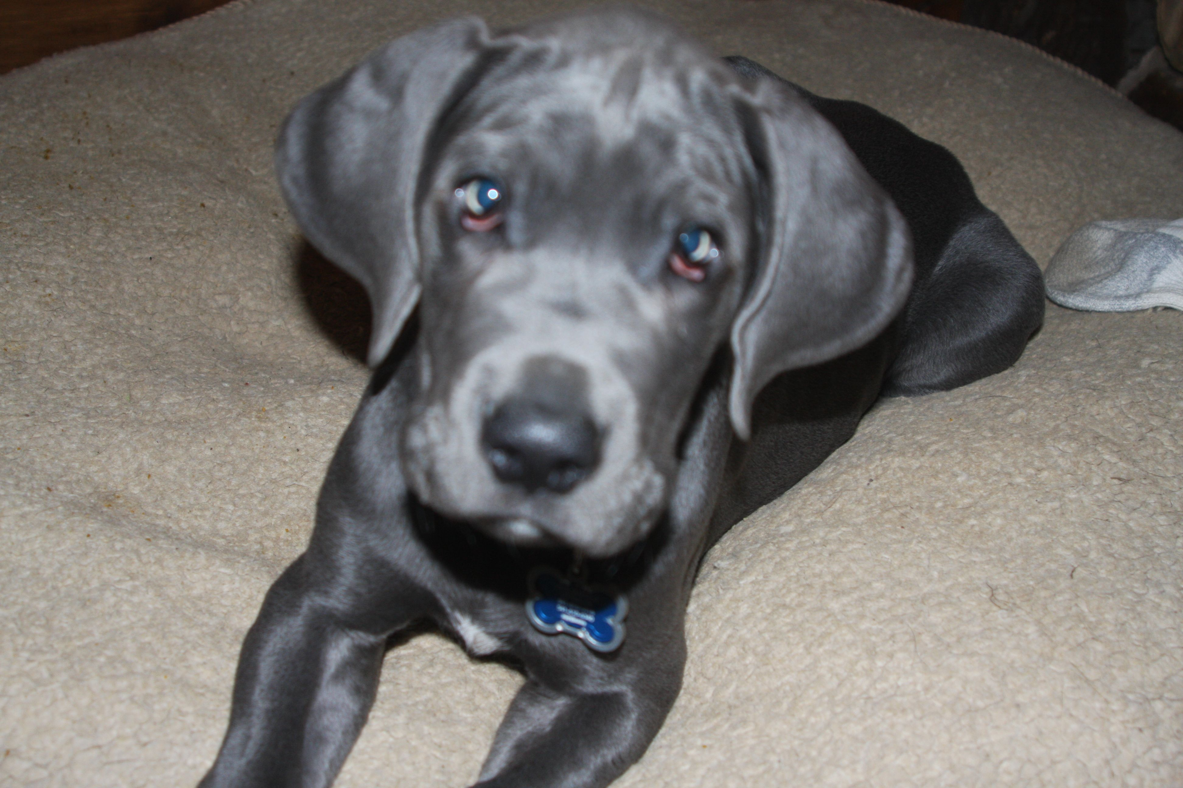 10 Week Old Great Dane Pup Great Dane Pets Animals