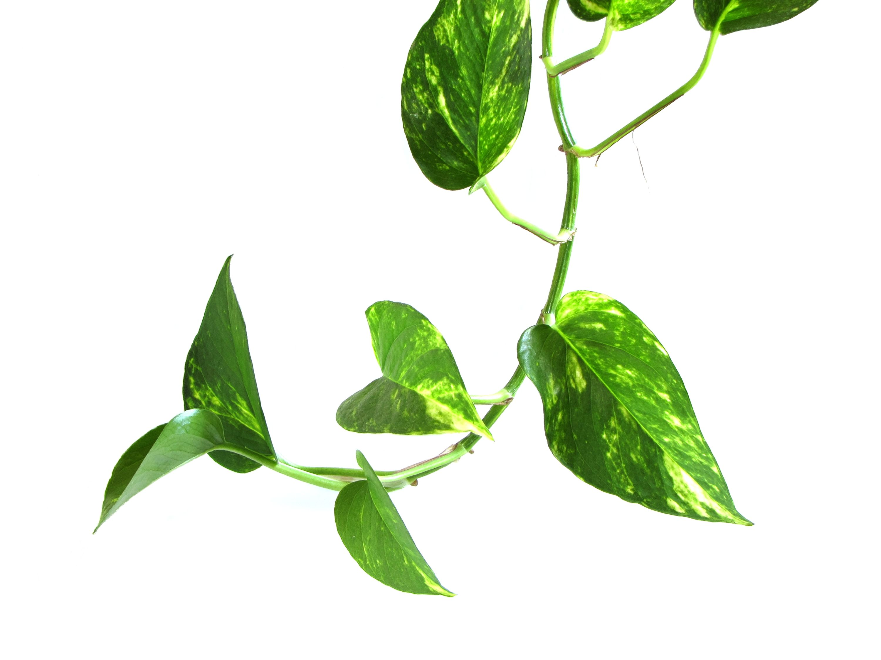 Green vine indoor houseplants make sure to visit for Green plants for garden