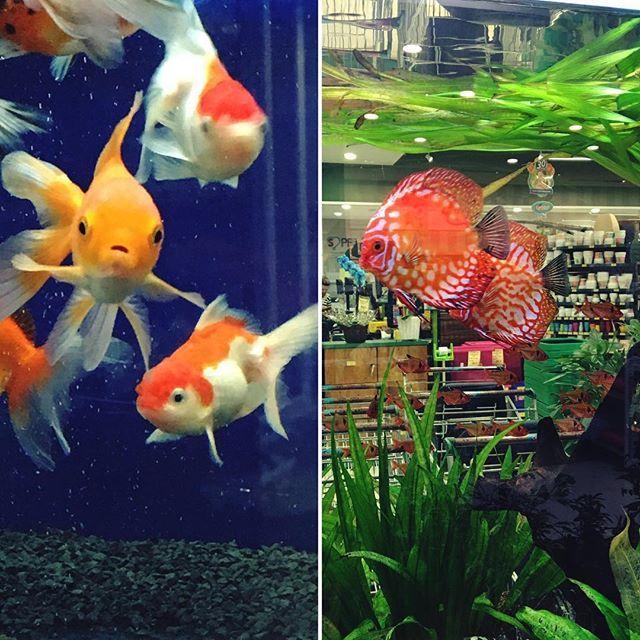 WEBSTA @ caarolnasc - Sábado foi dia de escolher peixes para o aquário do marido! 🐠🐟........#aquario #aquarium #fish #fishtank #fish #disco #kinguio #lindo #amazing #nature #beautiful #animals #inxtalove #instabgs #panelaobgs #blogsdaliga #fun #bomdia #goodmorning #lategram #instagood #instadaily #picoftheday #natureza #naturezabela #animals #animalsofinstagram #vidadeblogueira