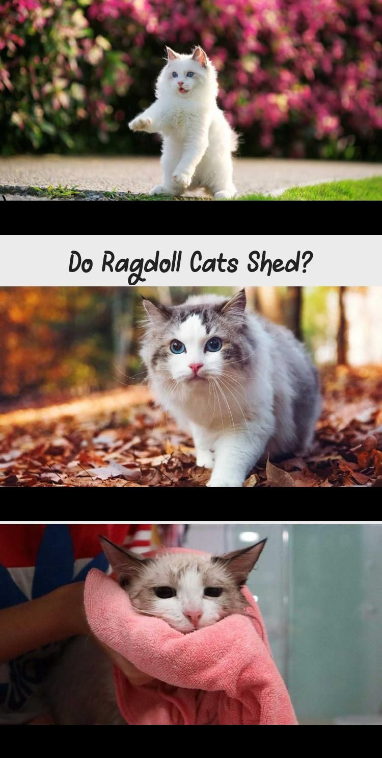 Do Ragdoll Cats Shed in 2020 Ragdoll cat, Cat shedding, Cats