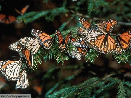 group of monarchs