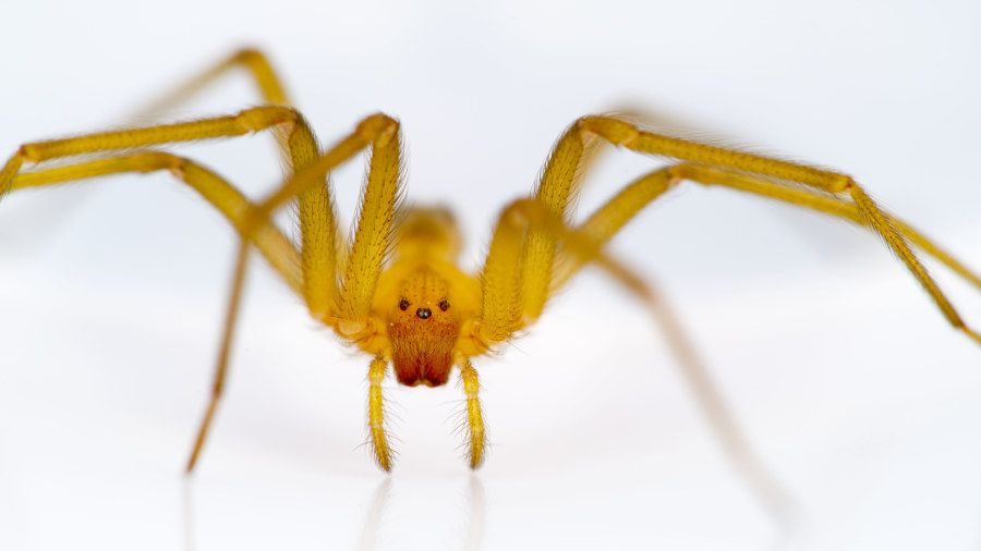 Myrkyllinen hämähäkki > Ruskohämähäkki (Loxosceles laeta)