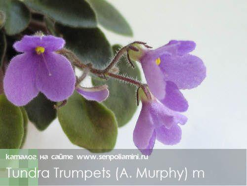 Tundra Trumpets