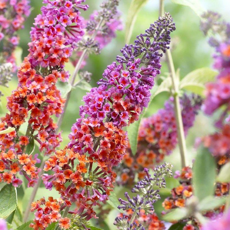 Sommerfuglebusk Flower Power Buddleia Davidii Flower Power I 2020 Sommerfuglebusk Blomsterhave Planteideer