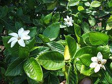 Na U Or Nanu Hawaiian Gardenia Gardenia Brighamii Gardenia Plants Fragrant