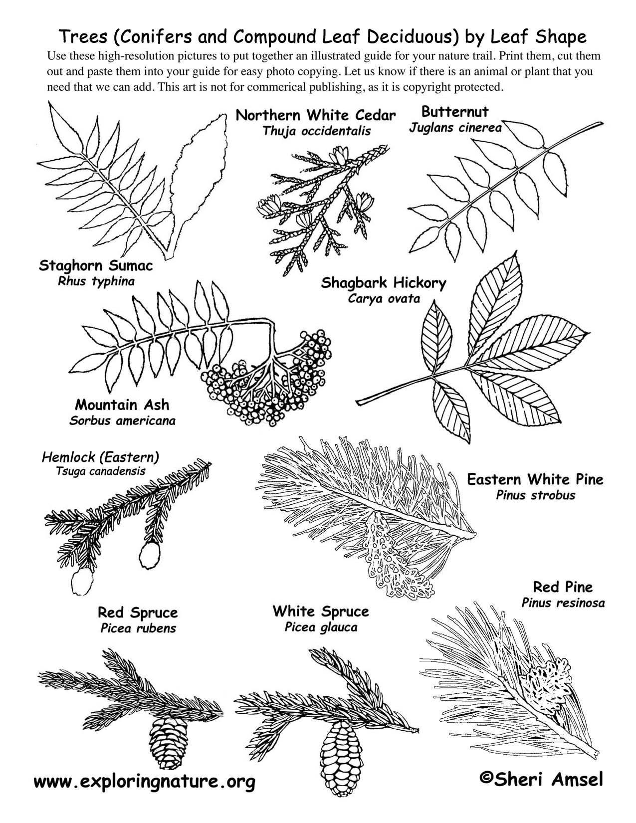 Tree Leaf Shapes Related Keywords Amp Suggestions