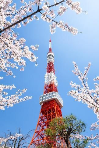 Photographic Print Tokyo Tower During The Cherry Blossom Season Minato Tokyo Japan By Jan Christophe Cherry Blossom Japan Cherry Blossom Season Tokyo Tower