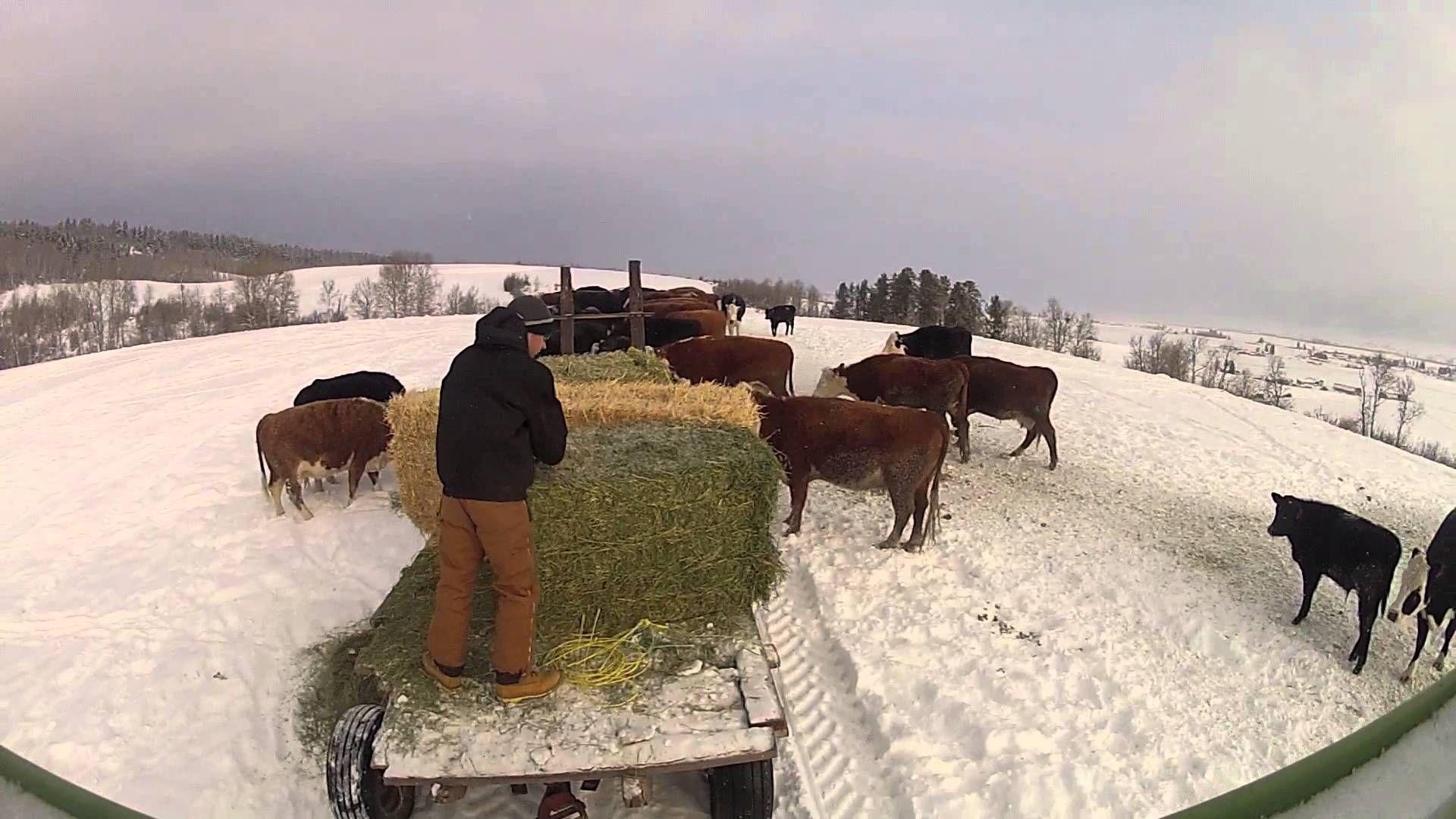 Feeding cattle in winter | Cattle, Horses & Pups | Beef