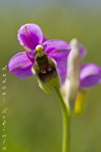 Orquídeas. | Ophrys Tenthredinifera. | Andoni Urkiola | Flickr