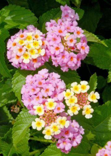 Lantana Camara Pink Caprice Plant Fiori