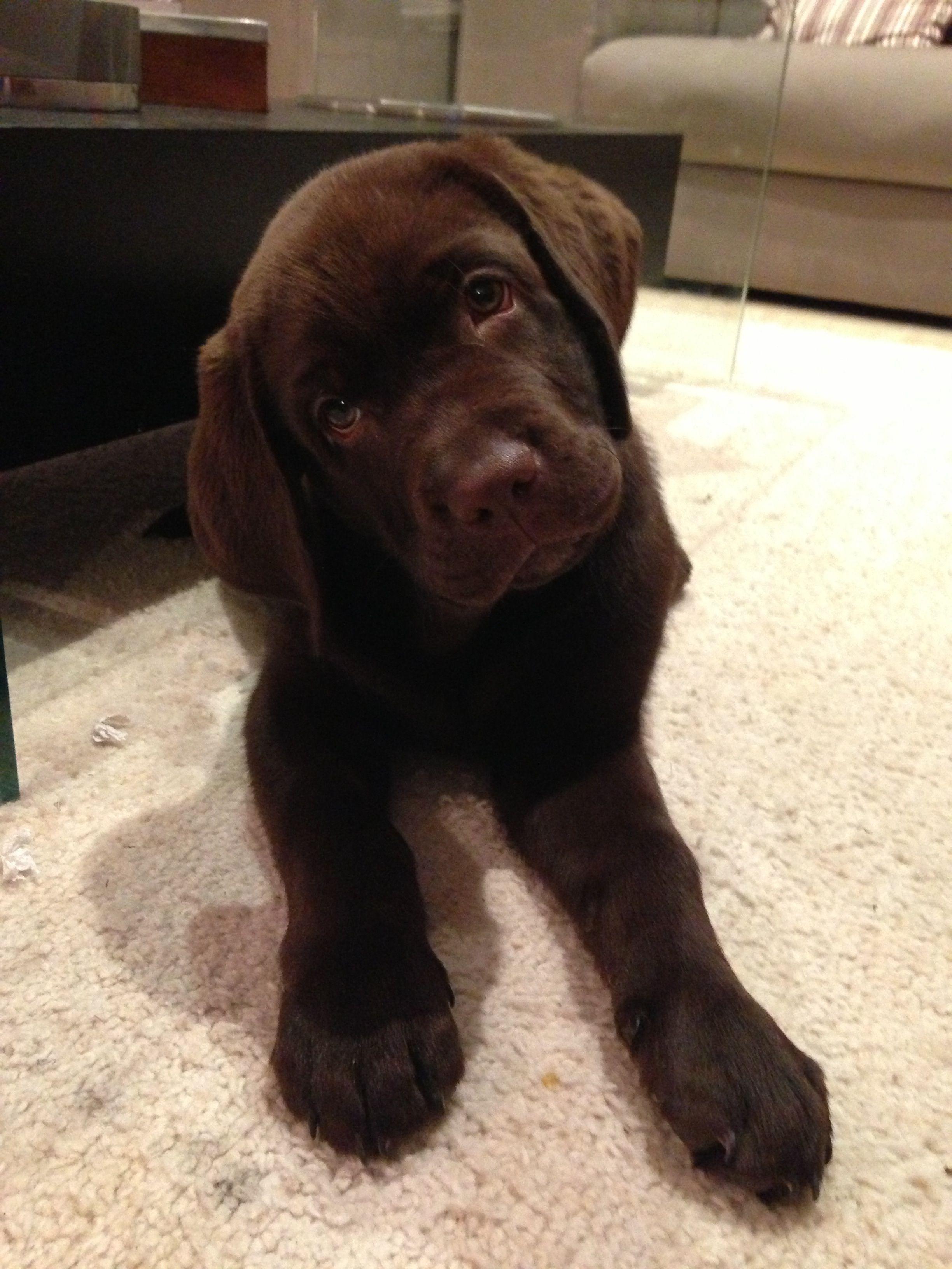 Bruno Labrador Chocolate Labrador Retriever Labrador Labrador Puppy