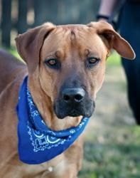 Bruno Black Mouth Cur Mastiff Mix An Adoptable Dog In Portsmouth