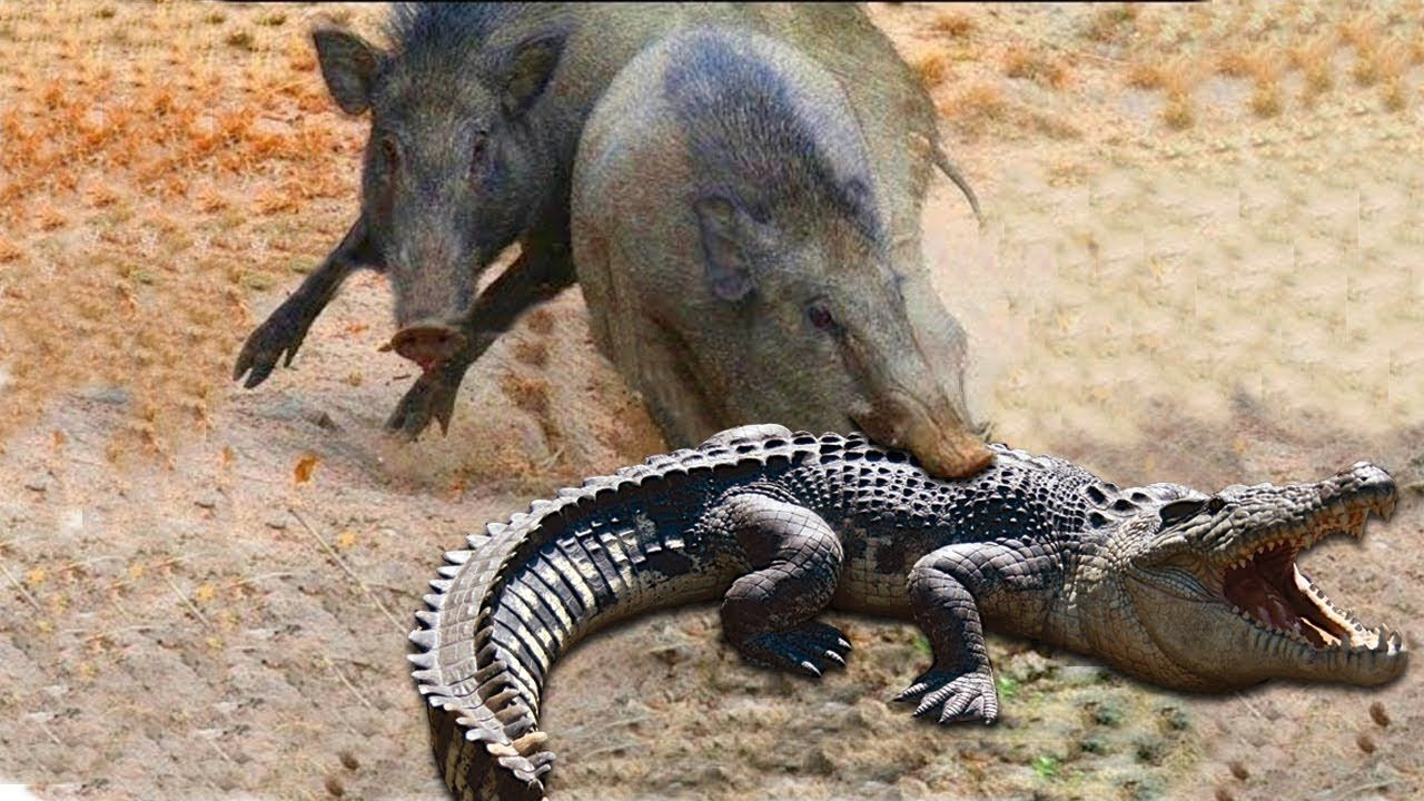 a6ac77b1b Amazing Parents Wild Boar Save Babies From Crocodile Hunting ...
