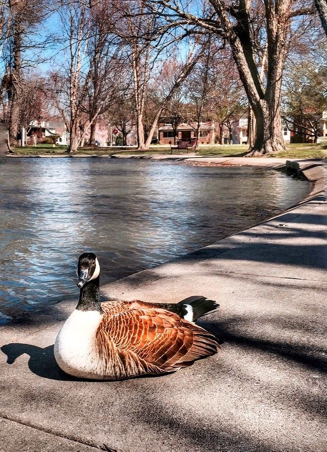 """""""Conversation with a Goose."""" by swood Woods photography"""