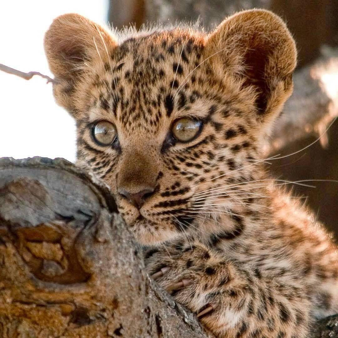 Леопард малыш картинка