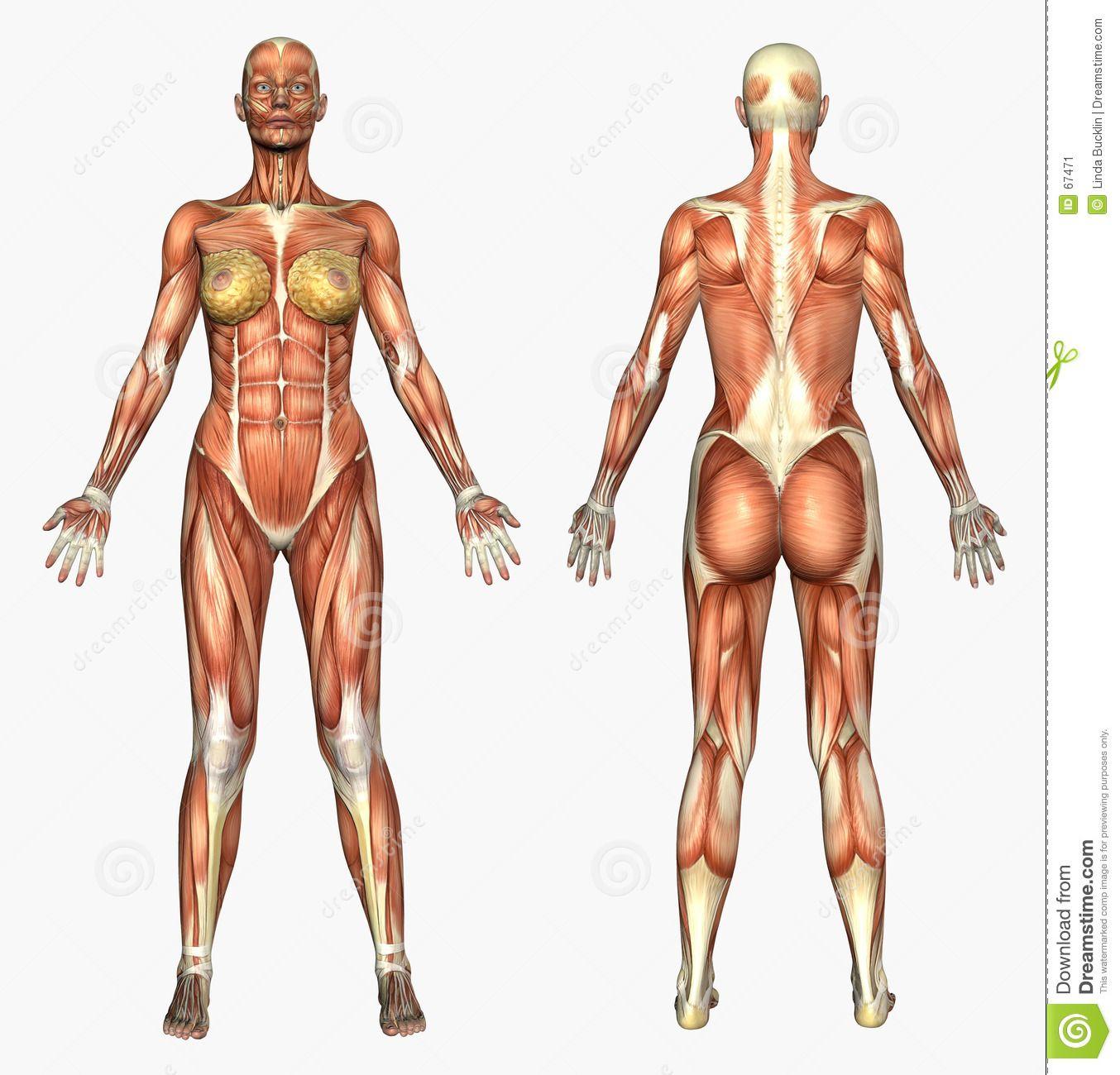Human Anatomy - Muscle System - Female Stock Illustration ...