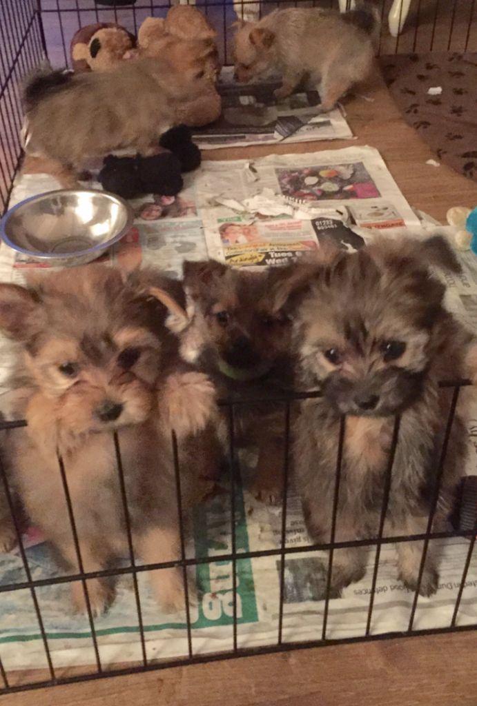 Stunning Pomeranian X Yorkshire Terrier Puppies Kent Gumtree Organic Dog Food Digestive Enzymes Dog Food Recipes