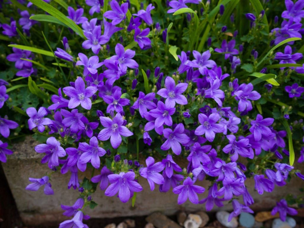 Bellflower Plants How To Grow Campanula Bellflowers In 2020 Bellflower Plant Shade Flowers Campanula