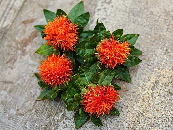 Safflower - Dark Orange-Red in 2020   Safflower Red ...