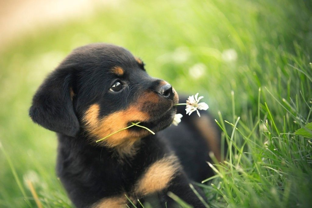 Rottweiler Dog Cute Puppy Grass Wallpaper Rottweiler Puppies Rottweiler Dog Puppies