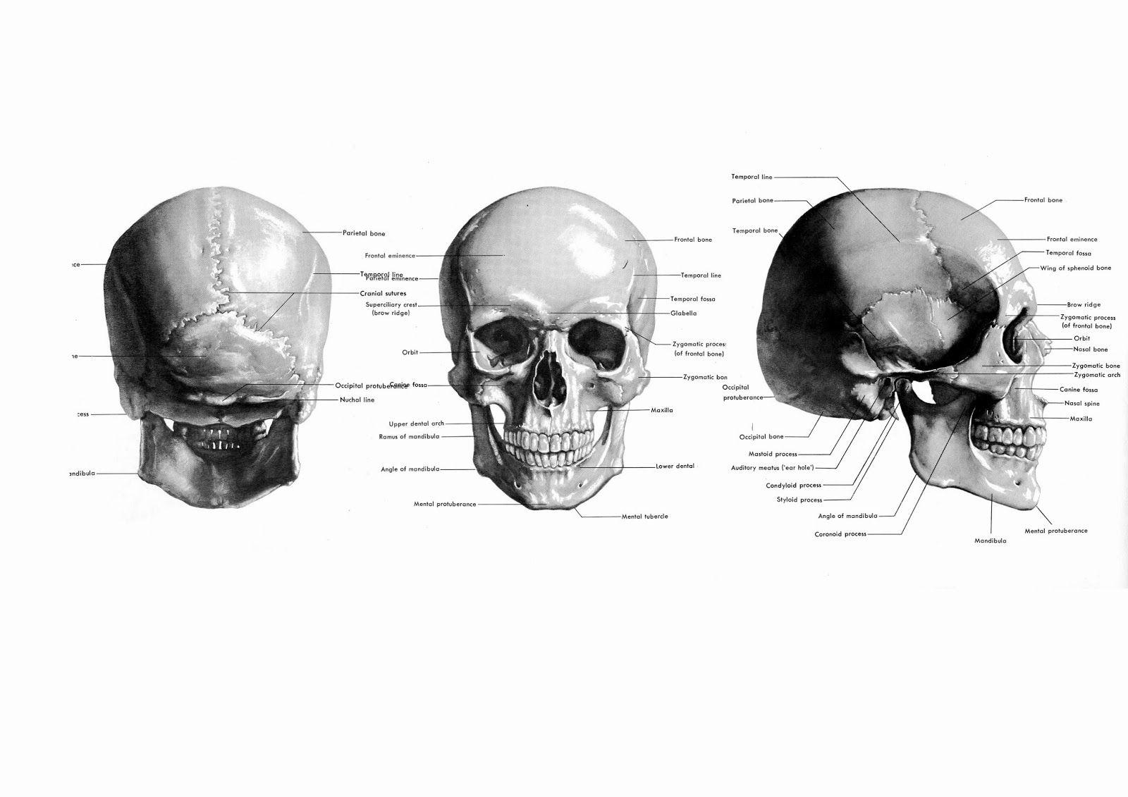 Stephen Rogers Peck Atlas Of Human Anatomy For The Artist Skull