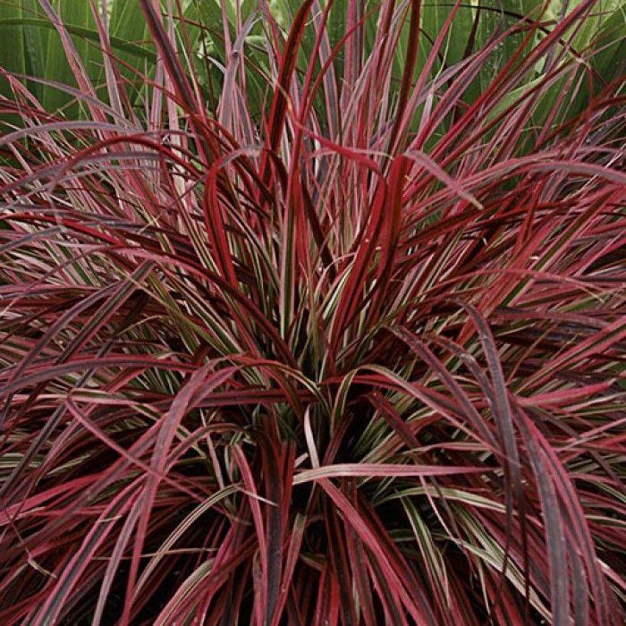 Dwarf Red Fountain Grass Home Garden Types Coastal
