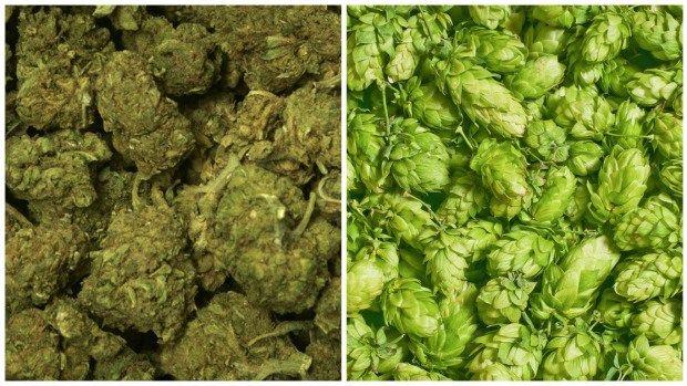 Three Arrested on P.E.I. After Mistaking Hops for Marijuana