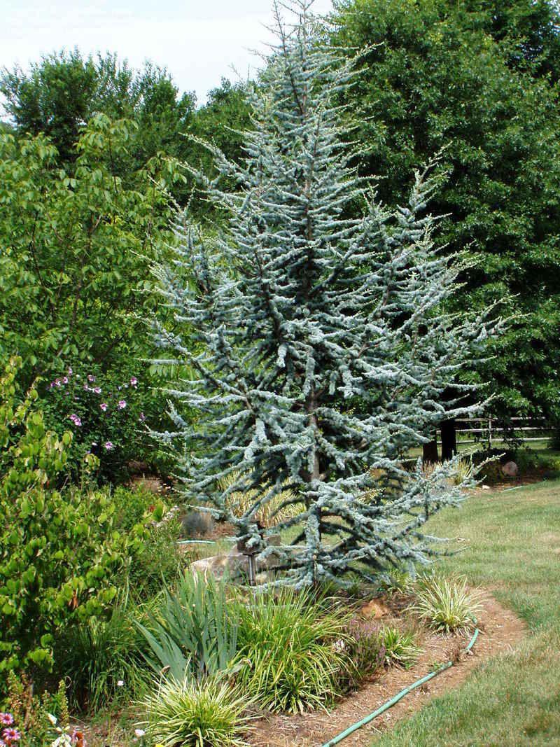 Full Size Picture Of Blue Atlas Cedar Glauca Cedrus