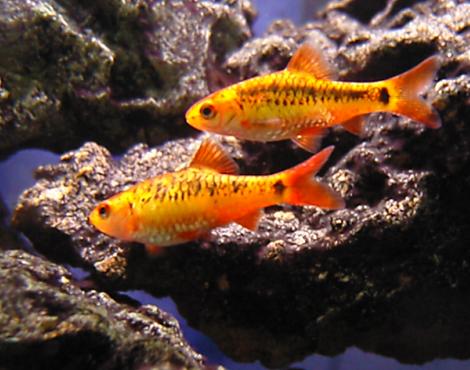 Gold Barb Puntius Semifasciolatus Aquarium Fish Tropical Fish Tanks Tropical Fish Aquarium
