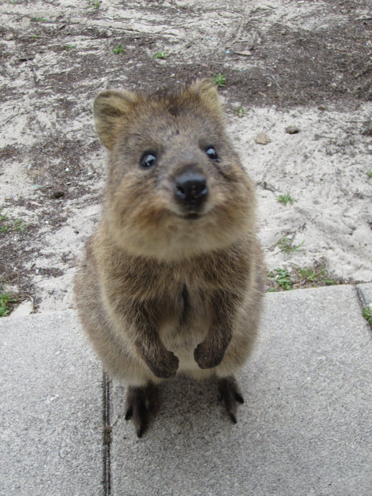 baby quokka these animals only live on 1 island in the