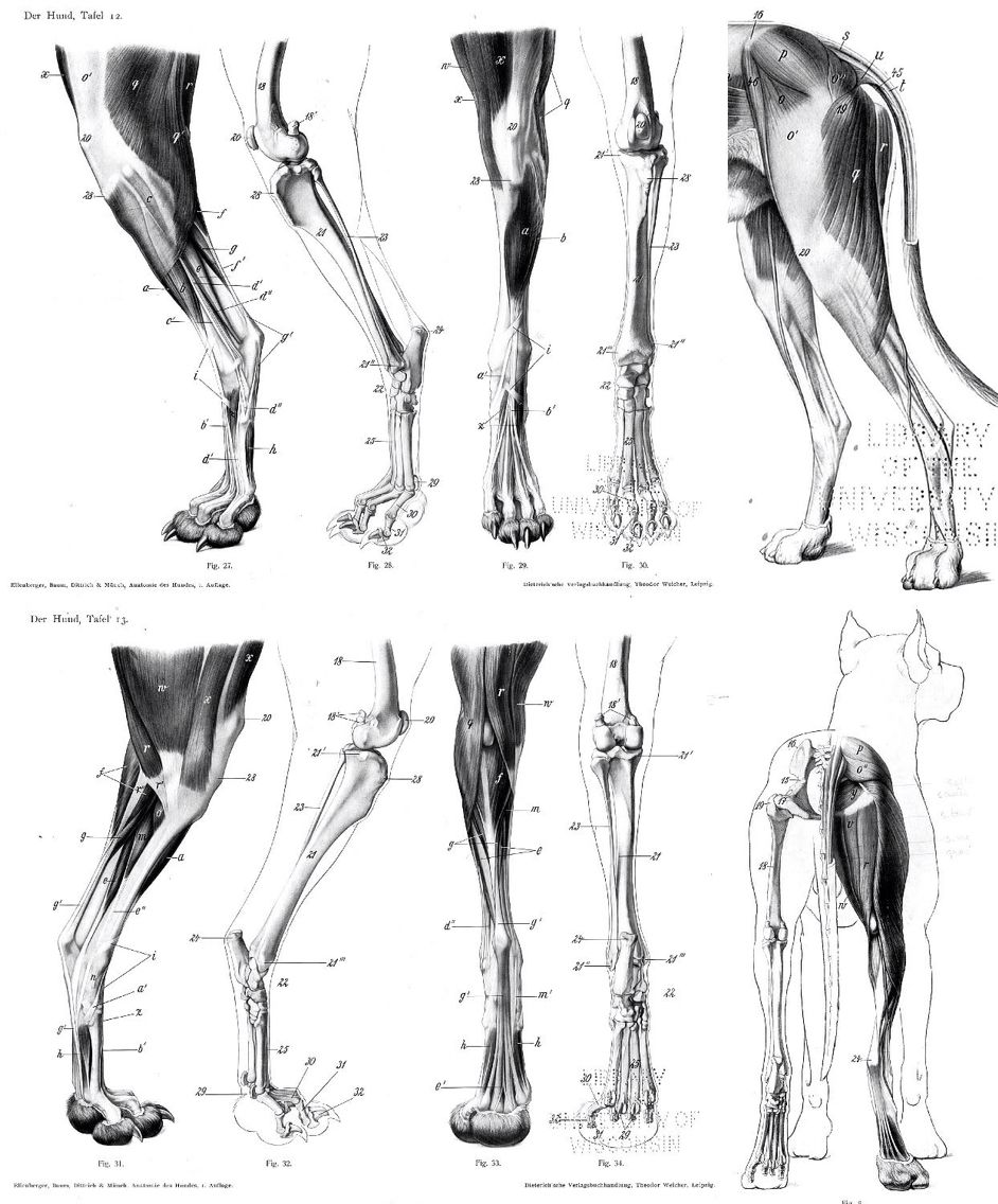 Resultado de imagem para dog leg anatomy | how to, anatomy and ...