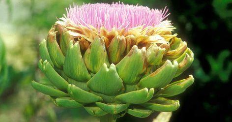 Eine Pflanze, die schnell wächst und viele Früchte ausbildet, braucht entsprechend viel Energie. Wir erklären, was Starkzehrer sind und wie man sie am besten pflegt.