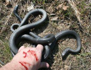 Black Racer Snake With Images Black Racer Snake Snake Facts