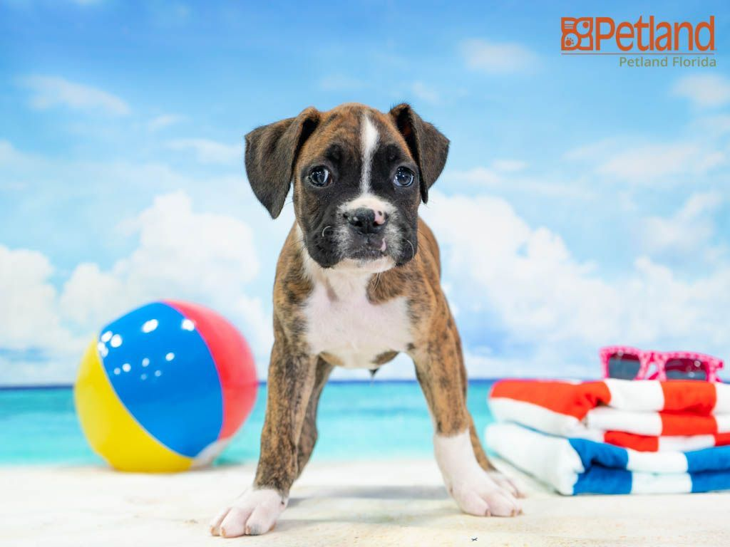 Petland Florida Has Boxer Puppies For Sale Check Out All Our Available Puppies Boxer Puppy Doglover In 2020 Boxer Puppies Boxer Puppies For Sale Puppy Friends