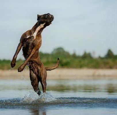 Best Dogs Tips Boxer Ideas dogs Boxer dogs