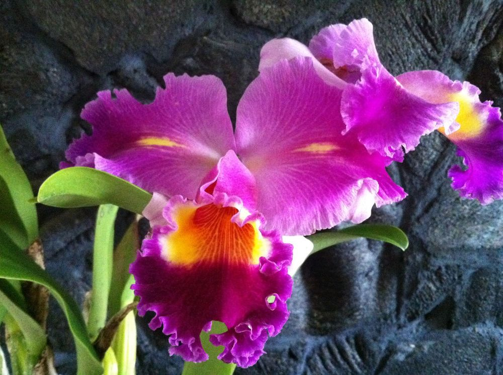 Cattleya Orchids Lower Classifications Orchid Flowers