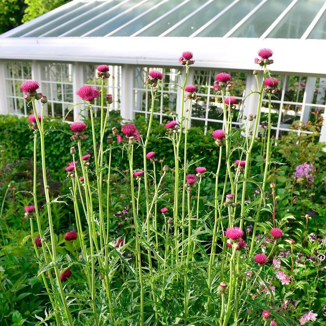 Cirsium rivulare atropurpureum ... A great perennial!