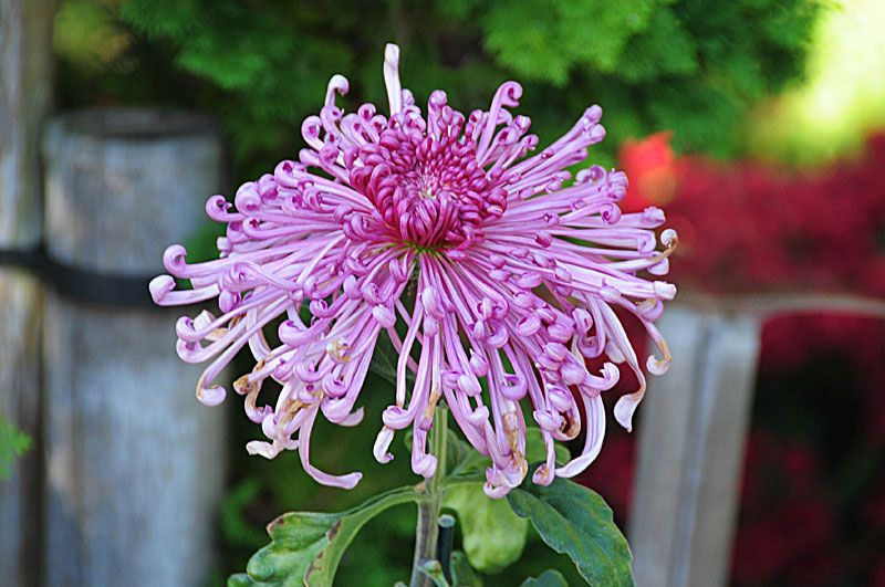Japanese Chrysanthemum how can they be real? Flower
