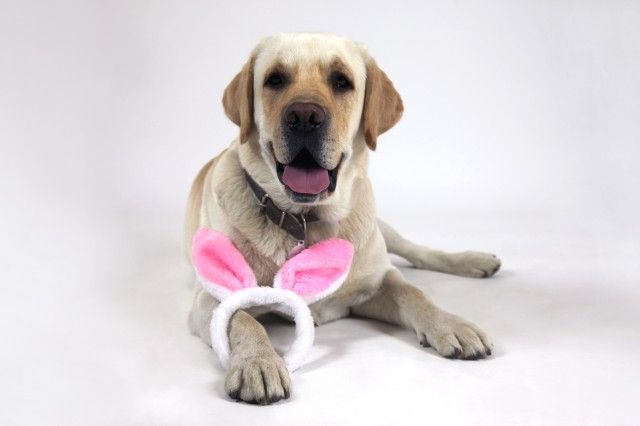 The Easter bunny has arrived early at Elisabetta Franchi HQ! #labrador #bunny #headband