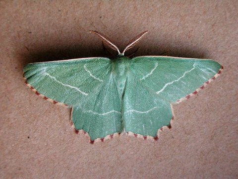 This rare butterfly in England is now even more severely threatened because of refusal to stop an airport expansion.