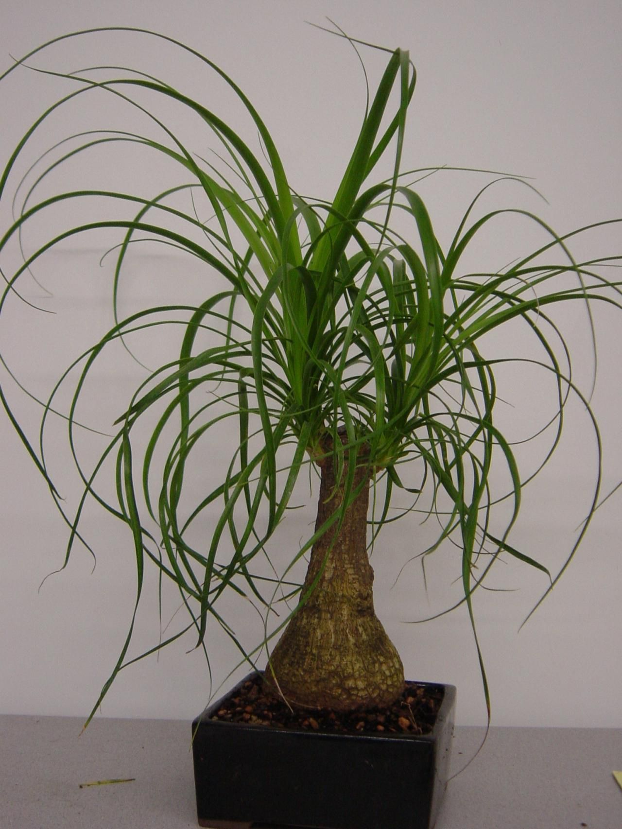 Image Detail For PonyTail Palm Desk And Floor Plant Ponytail
