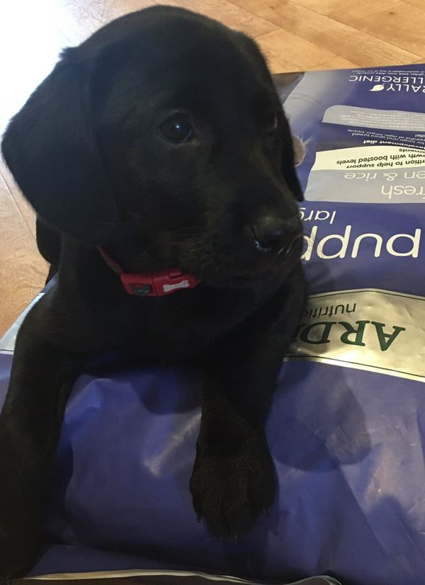 This Gorgeous Black Labrador Puppy Is Called Willow I Think Someone Wants Their Dinner The Puppy Junior La Black Labrador Puppy Dogs Hypoallergenic Dog Food