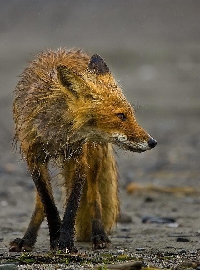 Slightly weathered. Red fox, Fox, Animals beautiful