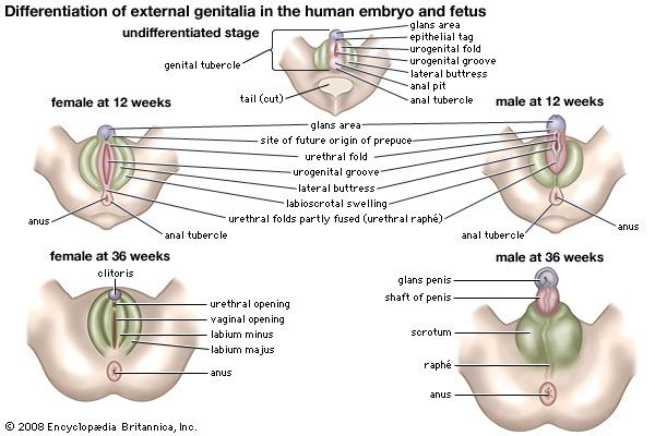 Here We See Embryonic Development Of Male And Female Genital At 12