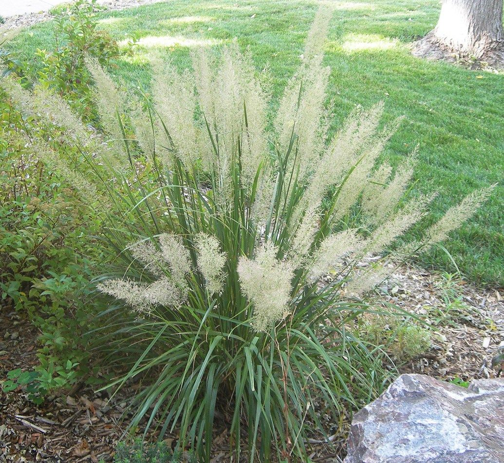 Korean Feather Grass A Frothy Focal Point For The Part Shade