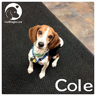 Pittsburgh Pa Beagle Meet Cole A Dog For Adoption Http Www