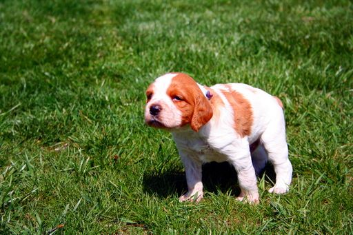 Litter of 6 Brittany puppies for sale in CHRISTIANSBURG, VA  ADN