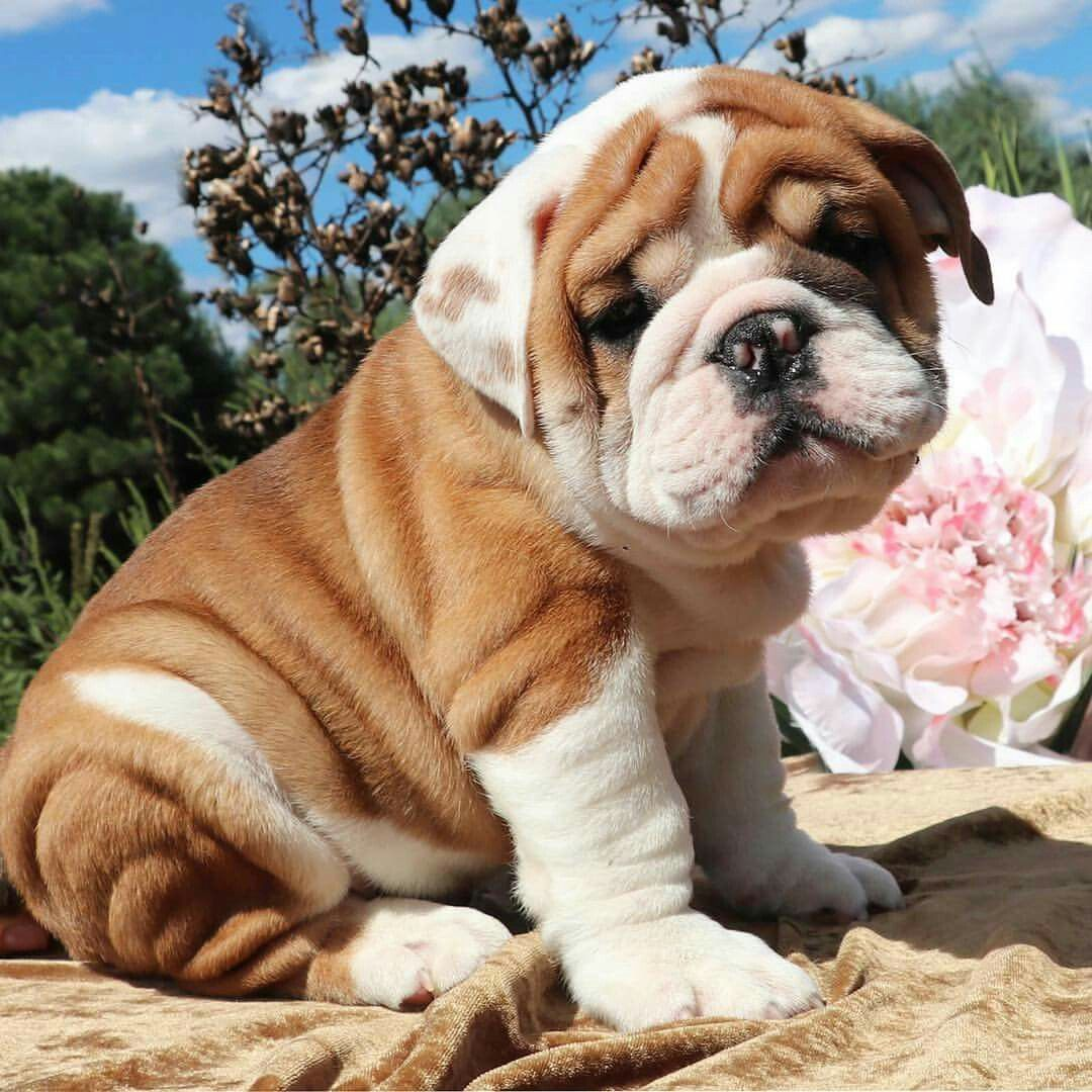 Cute Bulldog Puppies Image By Vanessa Smith On Shrinkabull