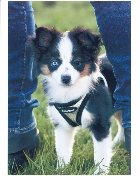 I Want A Mini Australian Shepherd Kittens And Puppies Australian Shepherd Puppies Australian Shepherd